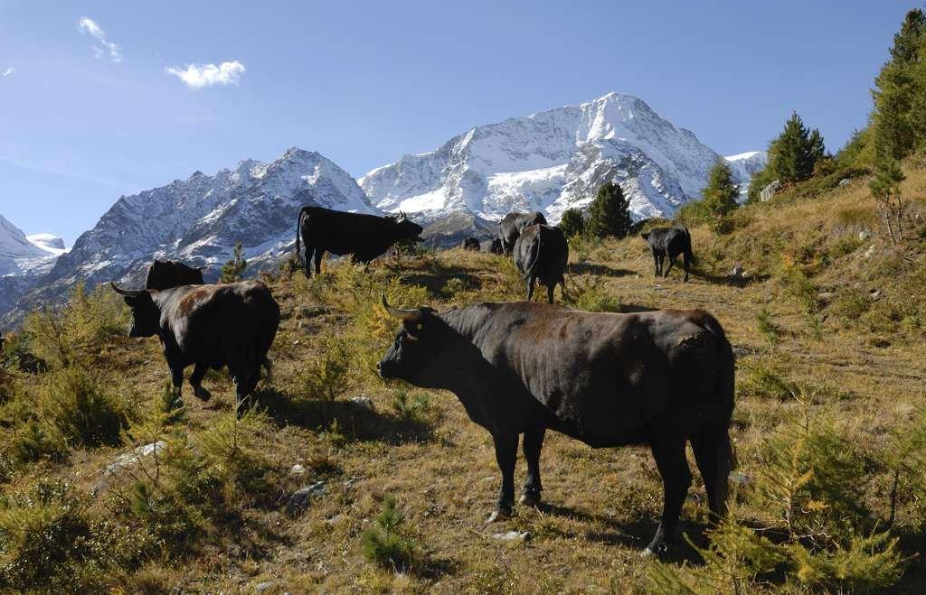 La vache d'Hérens, de la corne à la raclette.